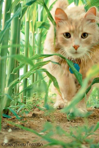 corn kitty