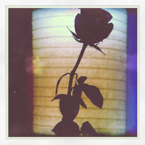 A rose in the night
