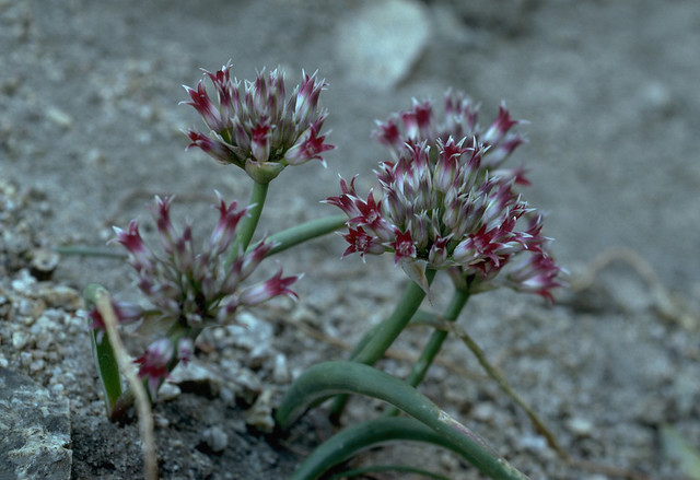 Header of Allium monticola