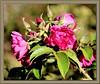 Dernières roses-Last Roses