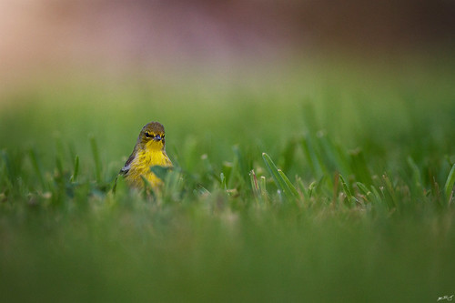 nature birds canon wildlife 7d warbler pinewarbler wildbirds 600mm