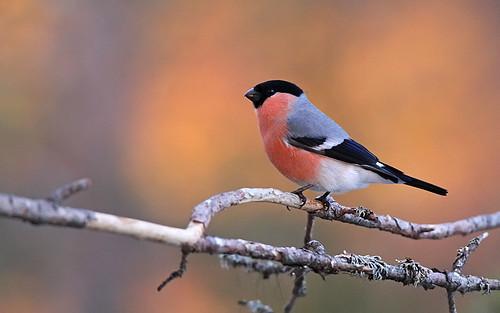 Domherre - Eurasian Bullfinch - Pyrrhula pyrrhula
