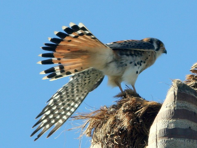 Kestrel stretching 20101210
