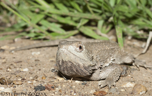 Downs Bearded Dragon (Pogona henrylawsoni)