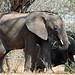 Small photo of African Bush Elephant: Loxodonta africana