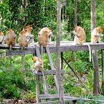 Proboscis Monkey Family Lunch