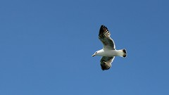 Sea gull in flight (2)