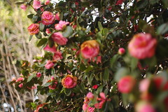 blossom(0.0), shrub(0.0), rosa rubiginosa(0.0), camellia(1.0), camellia sasanqua(1.0), flower(1.0), plant(1.0), flora(1.0), camellia japonica(1.0), theaceae(1.0),