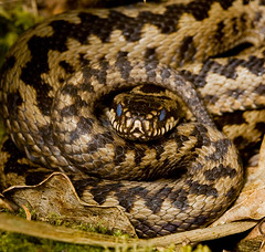 animal, serpent, snake, reptile, hognose snake, fauna, viper, close-up, scaled reptile, wildlife,