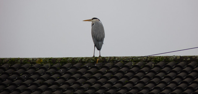 Heron on a rooftop