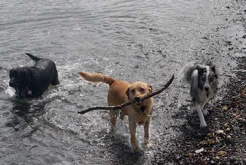 3 dogs in the water with a stick