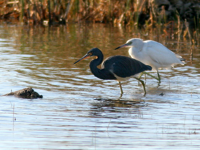 Tricolored and Little Blue Herons 20110108