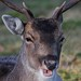Open Mouth deer