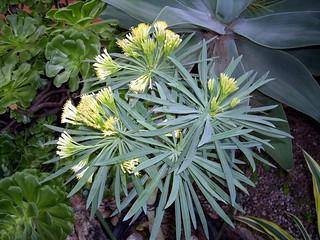 Kleinia neriifolia 01