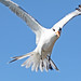 Birds in flight with the Canon EOS 60D