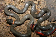 animal, serpent, snake, reptile, scaled reptile,