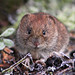 Hamsters, Voles, Lemmings, and Allies - Photo (c) nutmeg66, some rights reserved (CC BY-NC-ND)