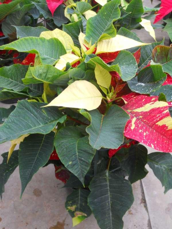 Euphorbia pulcherrima v 2