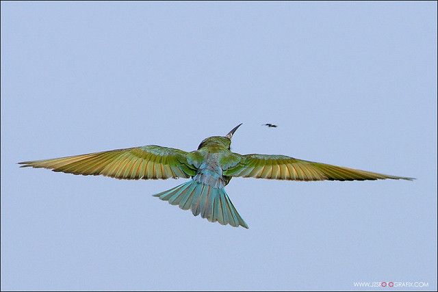 Blue Tailed Bee Eater Singapore Blue Tailed Bee Eater Hunting