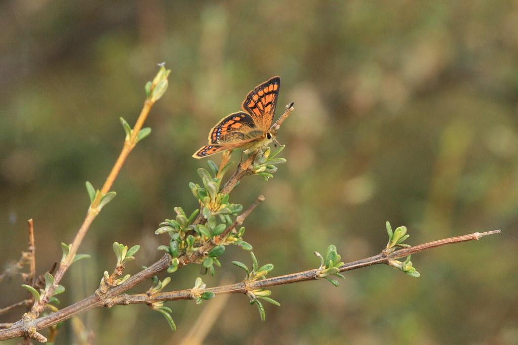 Common copper butterfly (female) - Lycaena salustius at Turakirae Head Scientific Reserve
