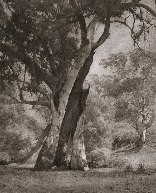 Hollow Gum, by Harold Cazneaux 1937