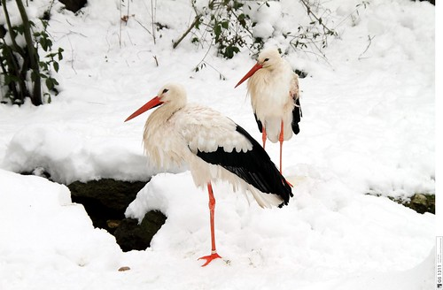 White Storks in the Snow / Weißstörche im Schnee