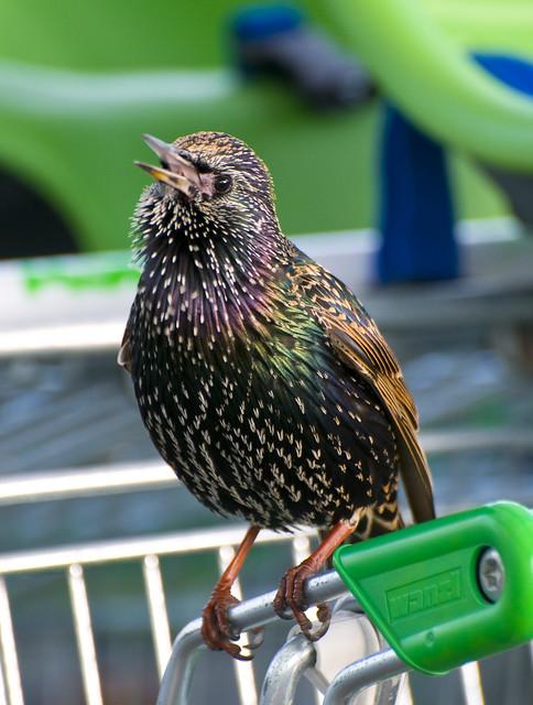 Starling (Sturnus vulgaris) Singing on a Shopping Trolley in Asda Car Park, Llanelli, South Wales (cropped version)