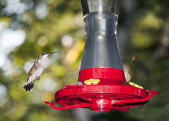 macro photography(0.0), hummingbird(1.0), perching bird(1.0), red(1.0), bird(1.0),