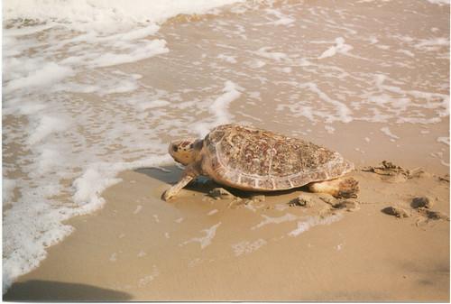 Female loggerhead sea turtle