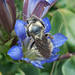 Osmia avosetta - Photo (c) Eric in SF, all rights reserved