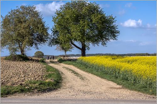 champs paysage chemin k3 colza heimersdorf ruederbach