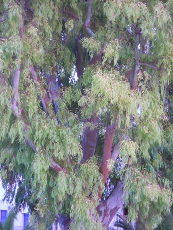 Eucalyptus camaldulensis v 1