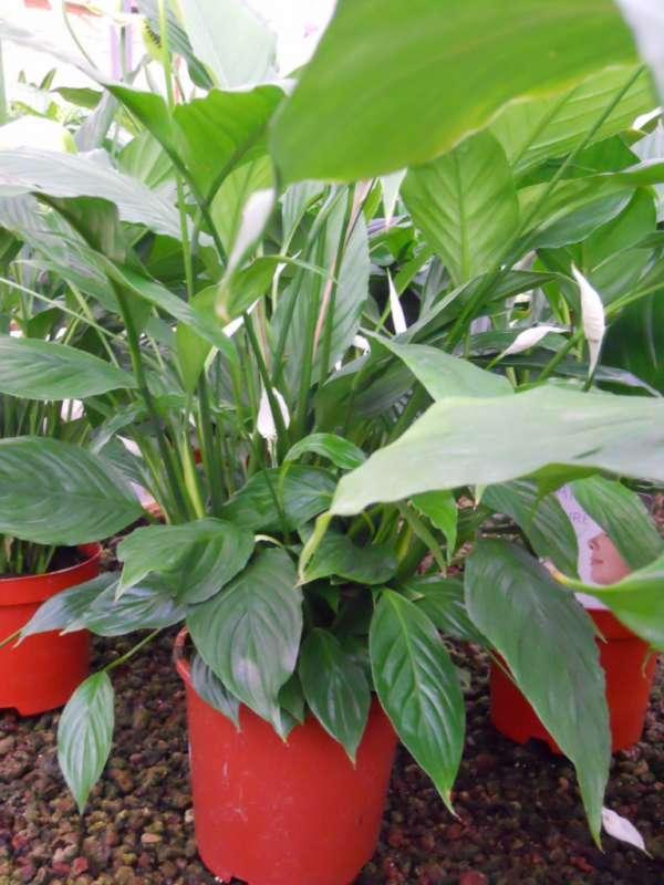 Spathiphyllum spp. v 3