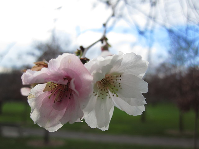 December blossoms on Prunus 'hally jolivette' near Cherry Walk. Photo by Rebecca Bullene.