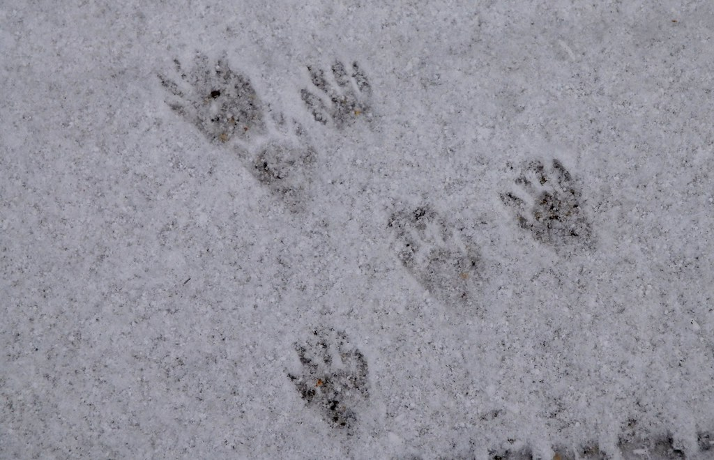 Skunk Tracks vs Raccoon Tracks Raccoon Tracks in The Snow