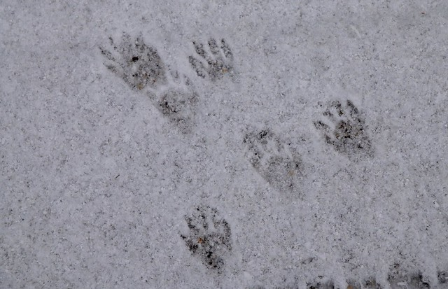 Skunk and Raccoon Footprints http://www.flickr.com/photos/chasdobie/5229697626/