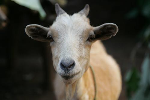 Mali goat
