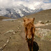 Mountain Horse - Annapurna Circuit, Nepal