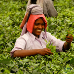 Picking Tea Leaves - West Bengal, India