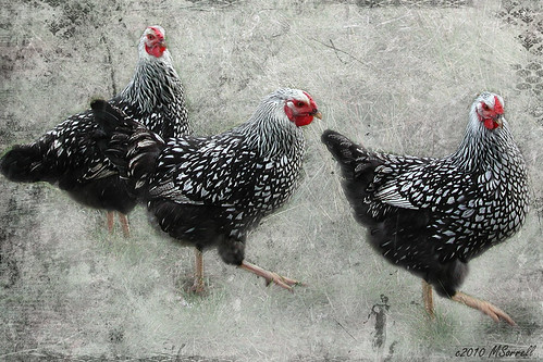 """Three French Hens"""