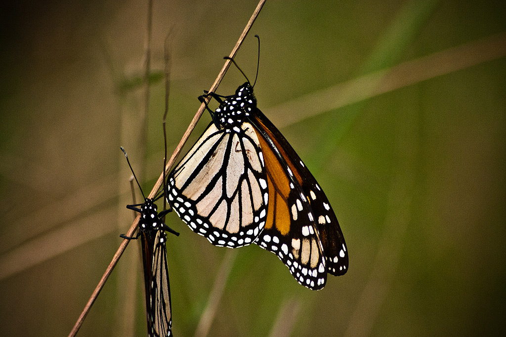 Papillon Pair