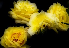 flower bouquet(0.0), garden roses(1.0), cut flowers(1.0), floribunda(1.0), flower(1.0), yellow(1.0), rosa foetida(1.0), plant(1.0), macro photography(1.0), flora(1.0), floristry(1.0), peony(1.0), petal(1.0),