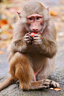 Young baboon eating a chestnunt II
