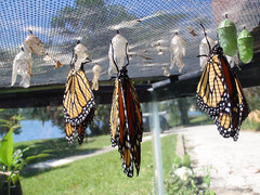 Danaus plexippus - Monarch Butterfly