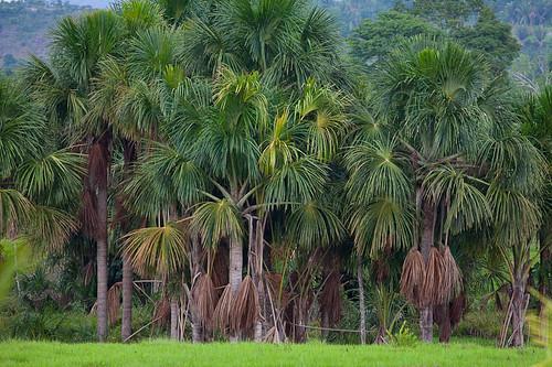 Palmeira de Babaçu