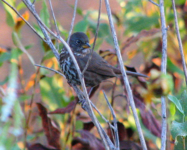 Sooty Fox Sparrow 29 Sep 10