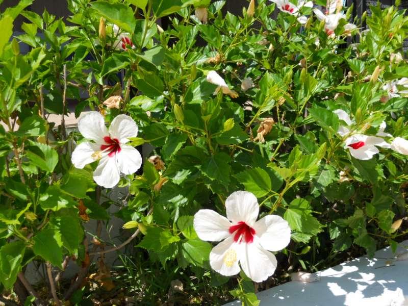Hibiscus rosa sinensis 'Casablanca' 2