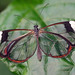 "The transparent ""Glasswing"""