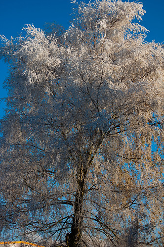 Frosted silver birch