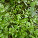 Fool's Watercress - Photo (c) Sarah, some rights reserved (CC BY-SA)